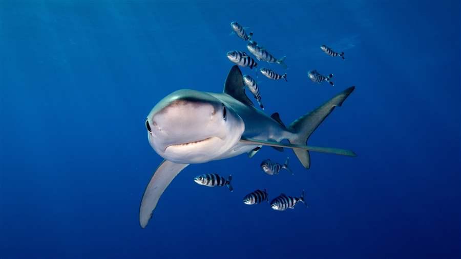 Shark Alliance