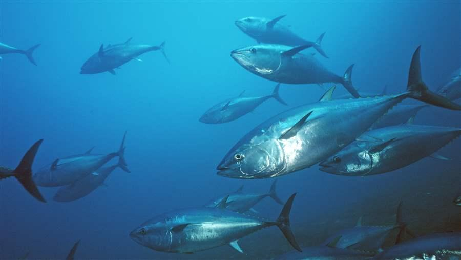 TUNA_PACIFIC_BLUEFIN_MO_RF