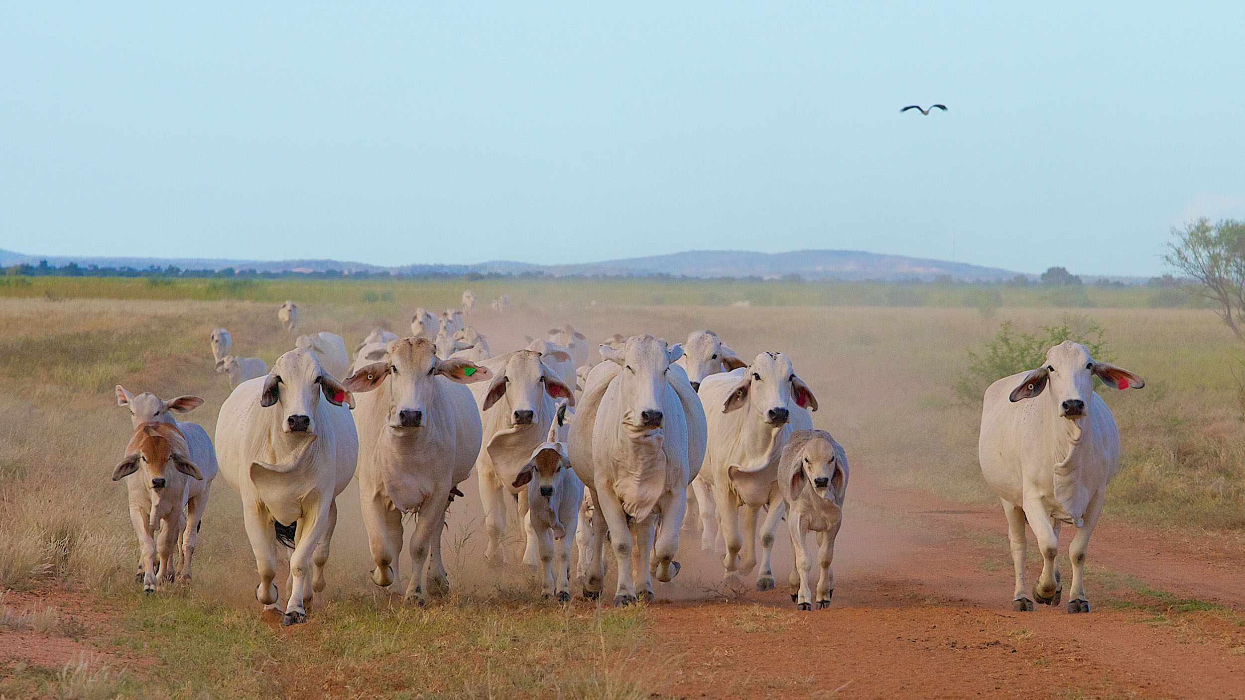 Pastoralism is the most extensive land use across the Outback, with states and territories issuing long-term leases over crown land. Beef cattle are the dominant livestock, with some areas also farming sheep and goats. These Brahman cattle are on the floodplain of the Thomson River in Outback Queensland.