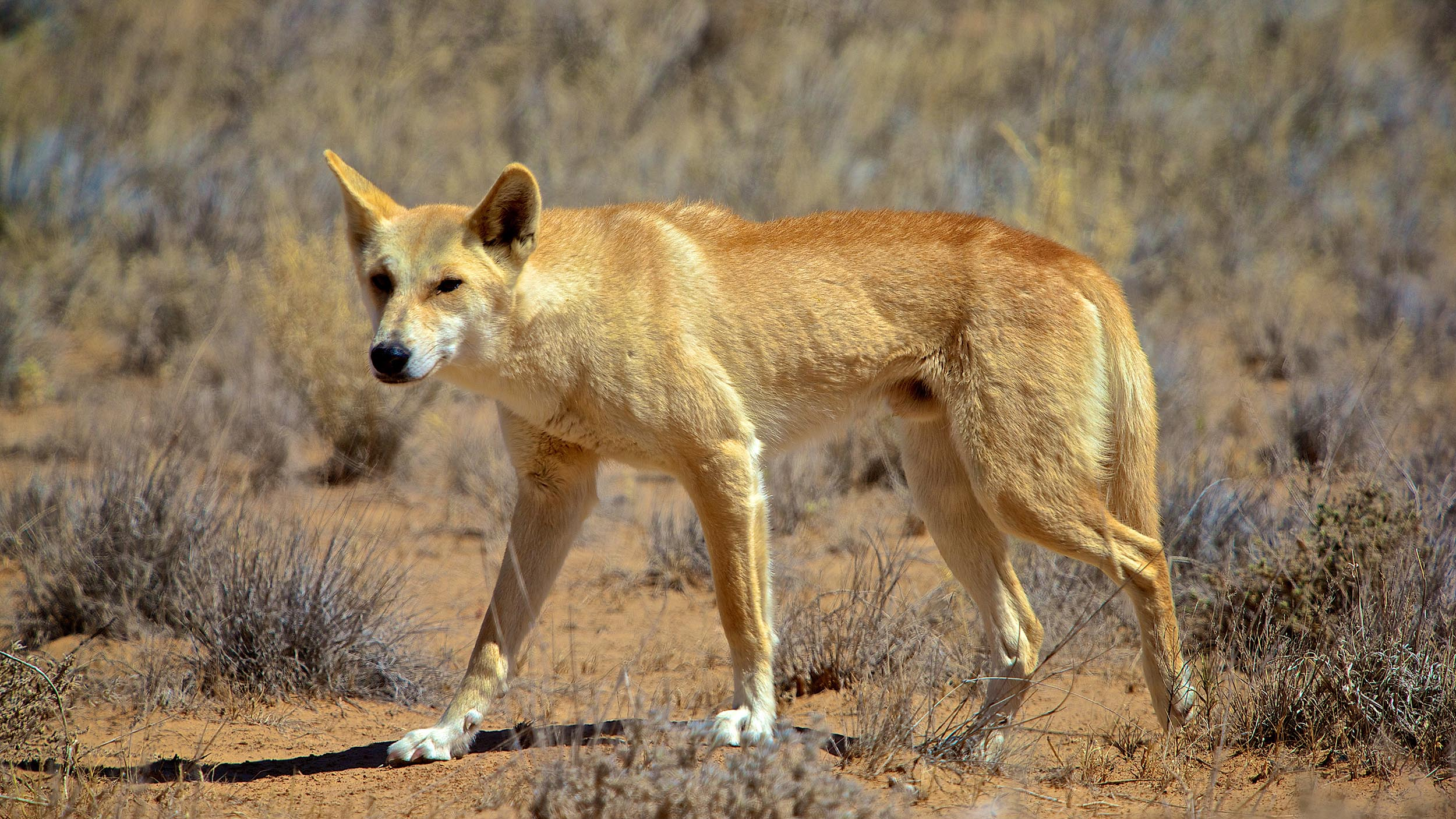 The Dingo is an important native predator, helping to control feral animals such as cats and goats in the Outback. This dingo was photographed in the Strzelecki Desert, central Australia.
