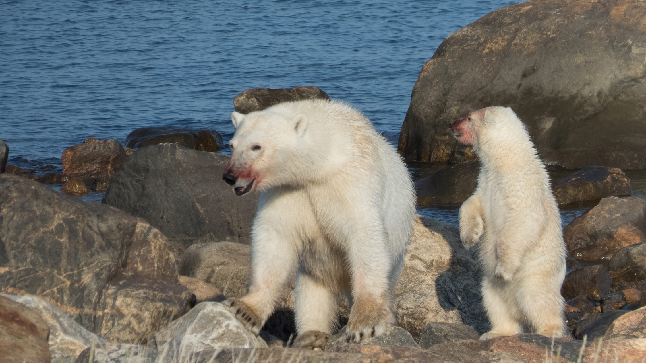 A polar bear mother and cub.