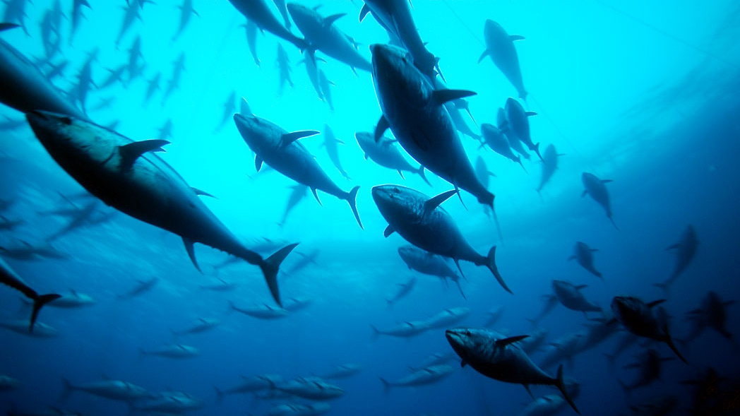 Time to Protect Bluefin Tuna and  Porbeagle Sharks From Illegal Trade