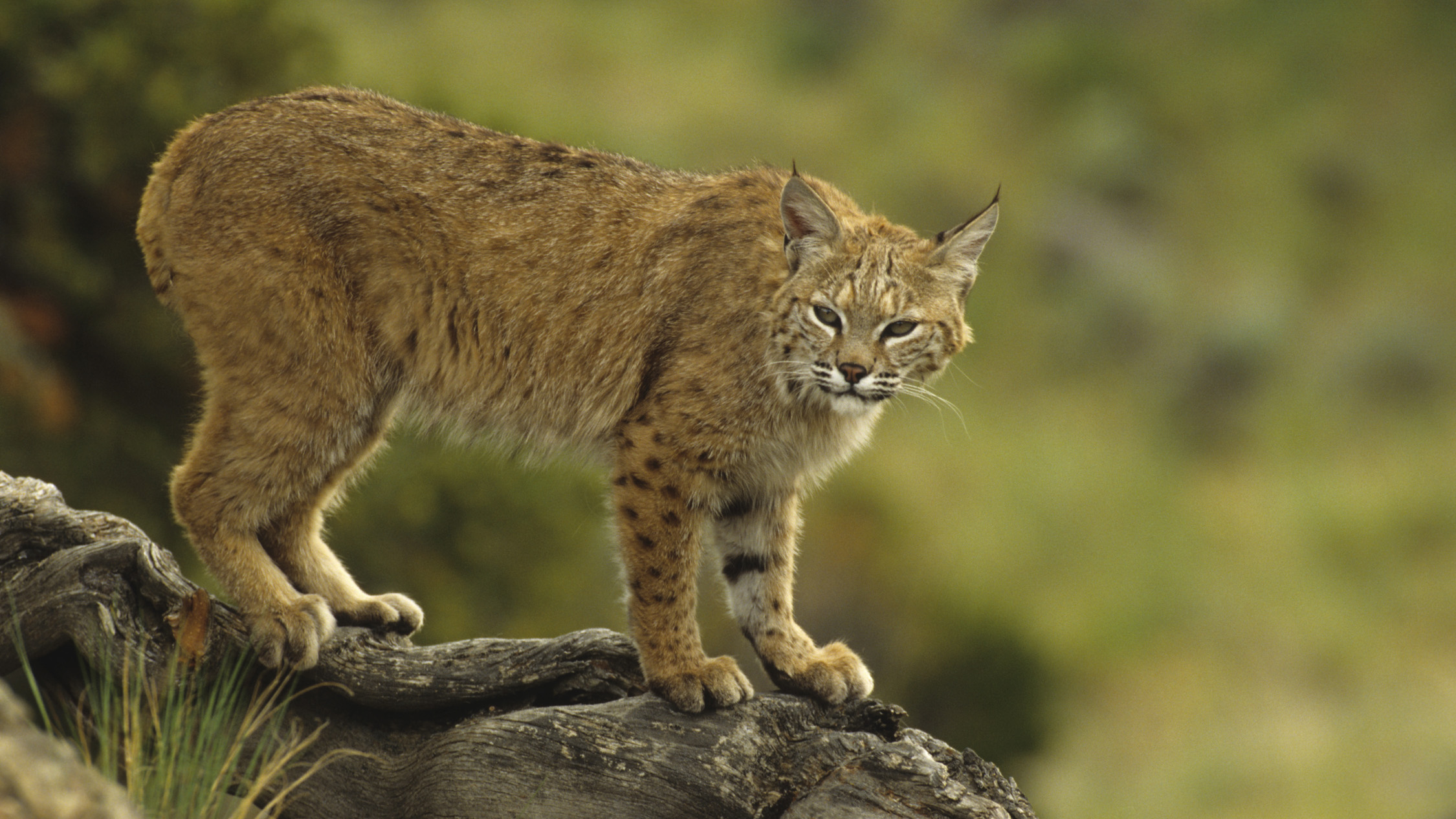 Sightings are rare, but the San Gabriel Mountains are excellent bobcat habitat.