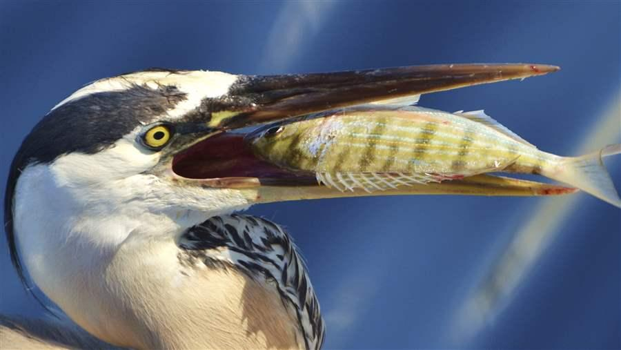 Great Blue Heron eats pinfish