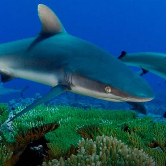 Global Ocean Legacy – Pacific Remote Islands, Sharks