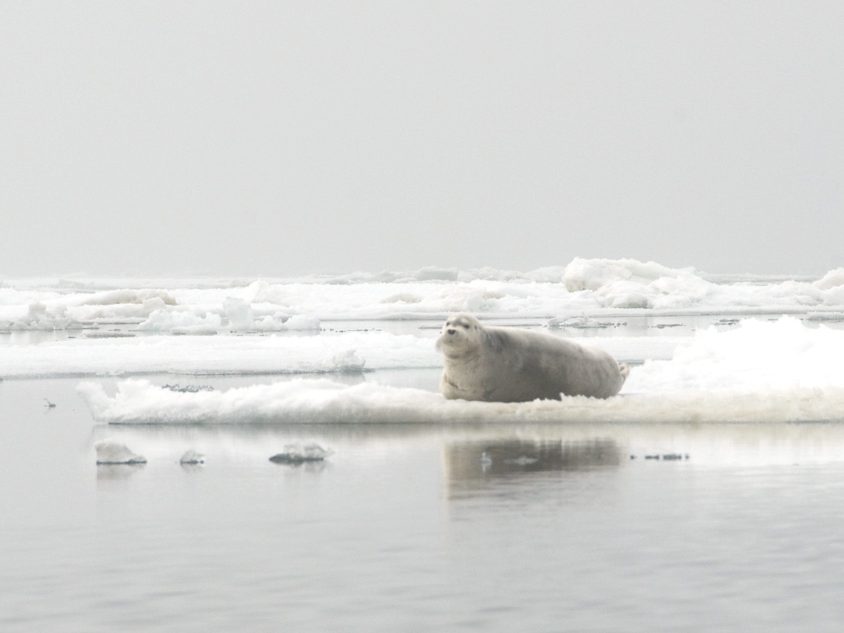 A high concentration of bearded seals reside amid the ice leads of the Chukchi Corridor, foraging around Hanna Shoal in summer, and migrating through Barrow Canyon in winter and spring.