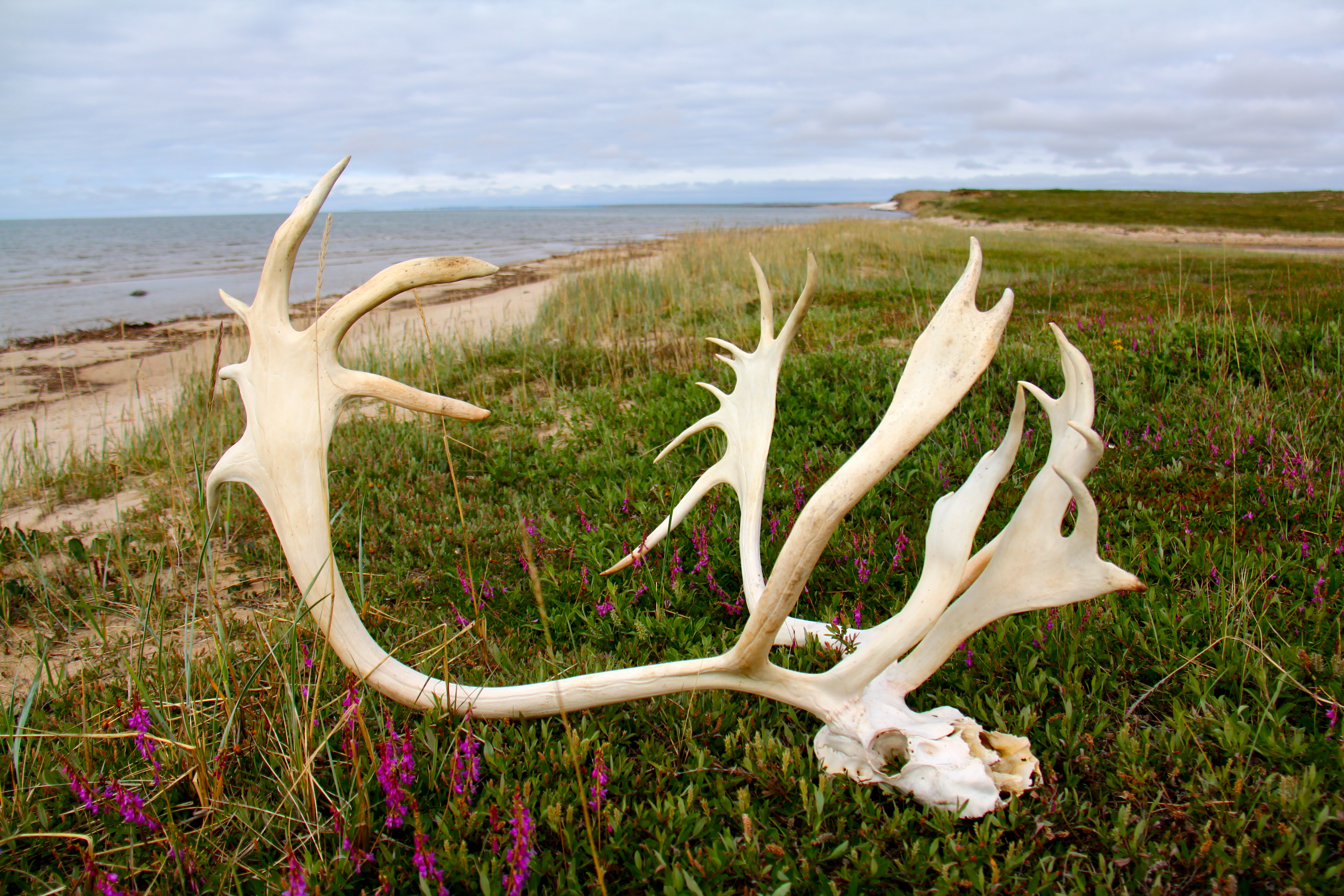 A caribou skull among wildflowers on the bay.