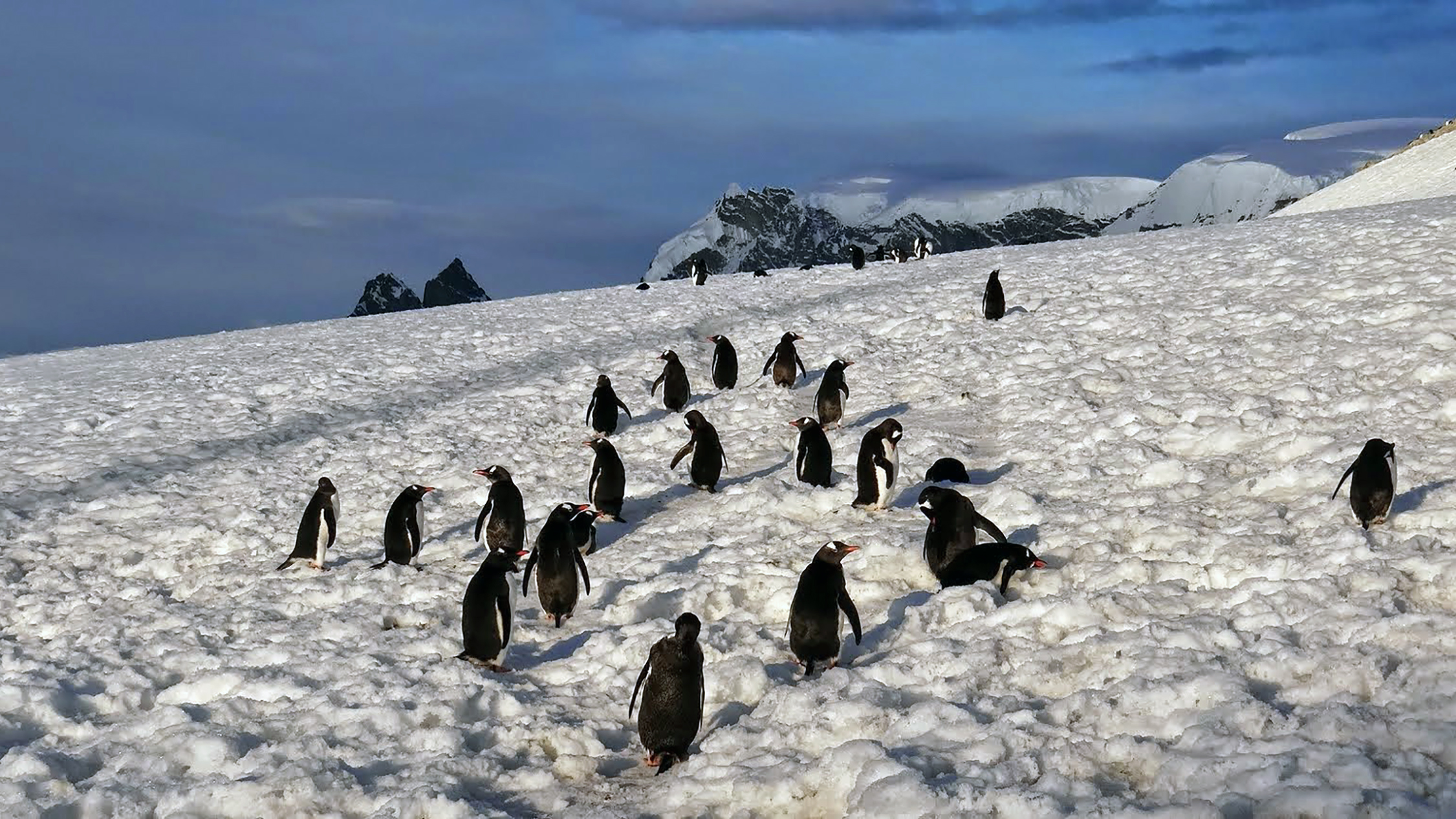 During an excursion to Danco Island, we ran into a colony of gentoo penguins scurrying about in the snow.