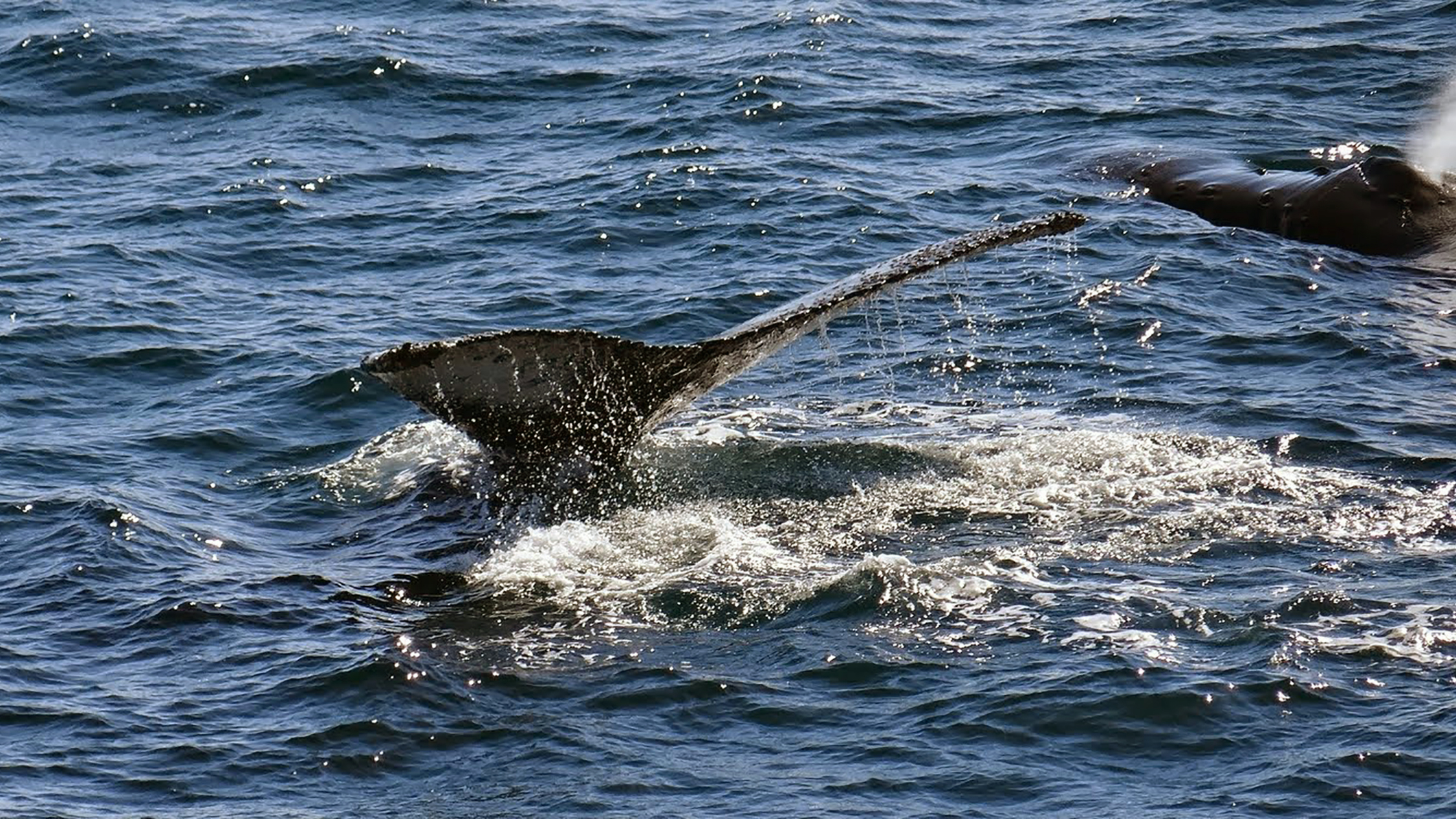A mother humpback whale and her calf visited us and showed off in the waters on the edge of the English Strait.