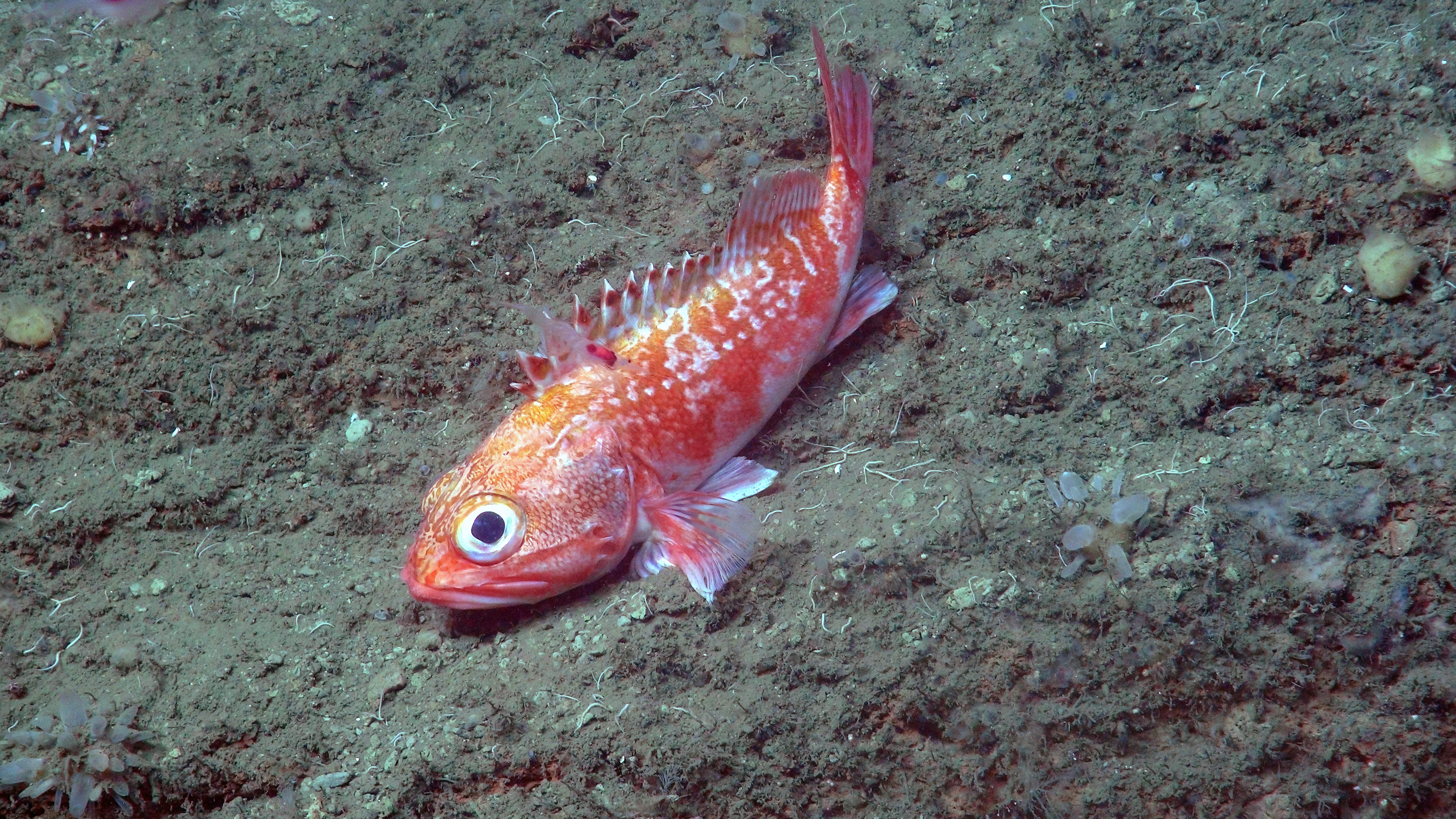 This blackbelly rosefish in Norfolk Canyon is as deadly as it is beautiful. It's an ambush hunter with poisonous spines.