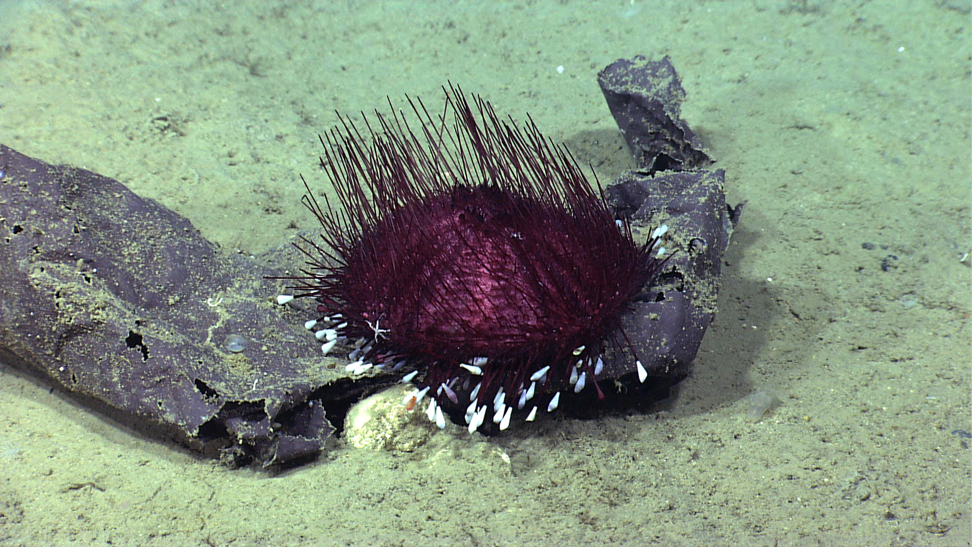 Unlike urchins along the shore, these deep-sea urchins don't have a hard skeleton. When brought to the surface they deflate into their namesake pancake shape.