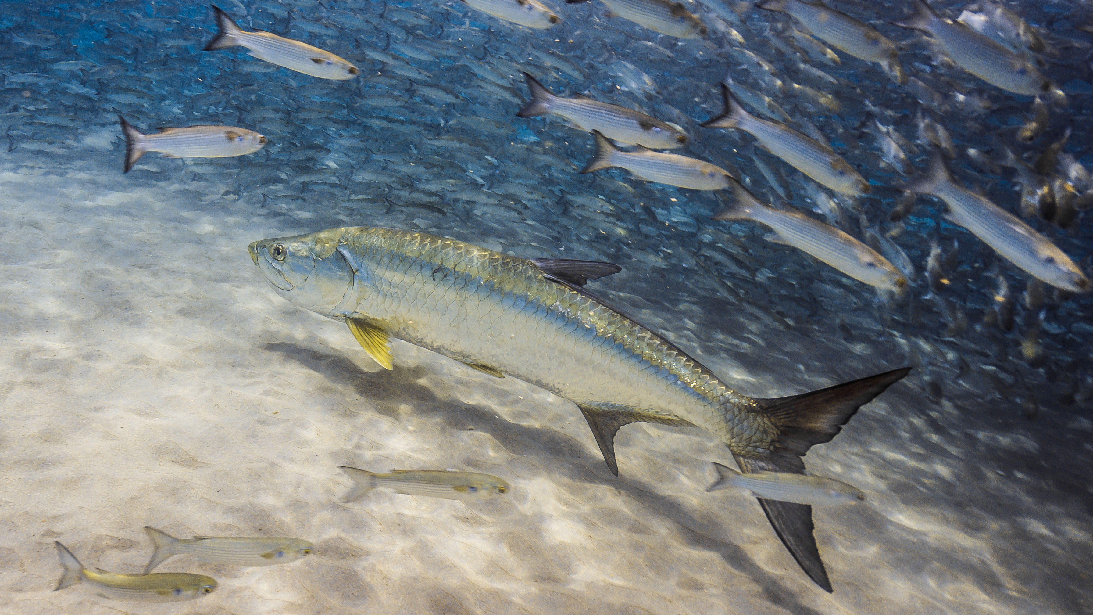 A tarpon swims by a school of mullet. Tarpon and other popular species like grouper and king mackerel depend on forage fish for food. That's why anglers and conservationists have come together to ask the Florida Fish and Wildlife Conservation Commission to protect a sufficient abundance and variety of forage species and account for the dietary needs of important popular recreational and commercial fish species when setting fishing rules.