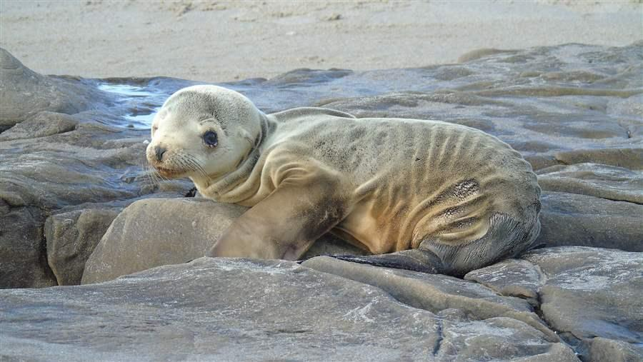 Sea Lion Pup NOAA