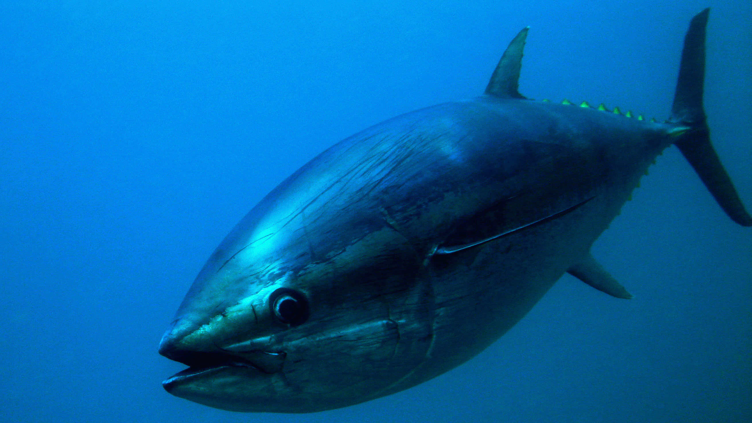 Bluefin Tuna Closeup