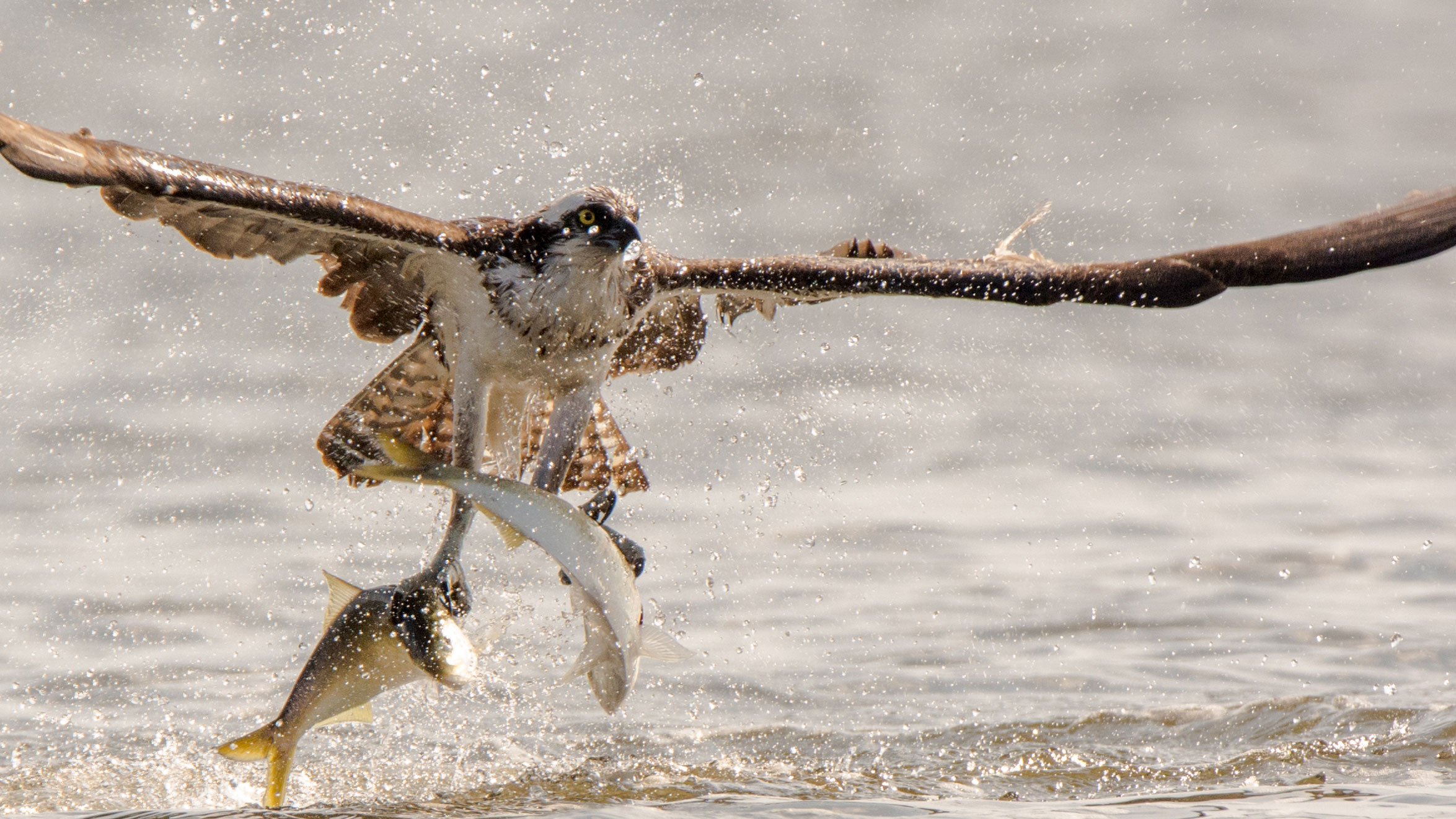 Osprey With Fish X on Ocean Marine Ecosystem Food Web