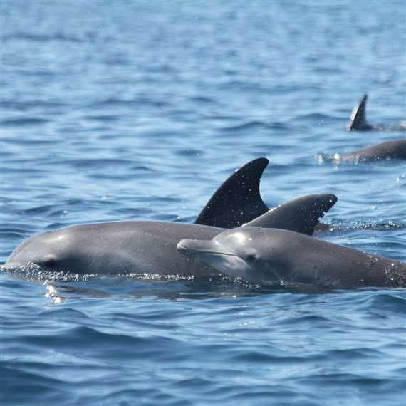 Dolphin_calf_Byron_Bay_Marine_Sanctuary