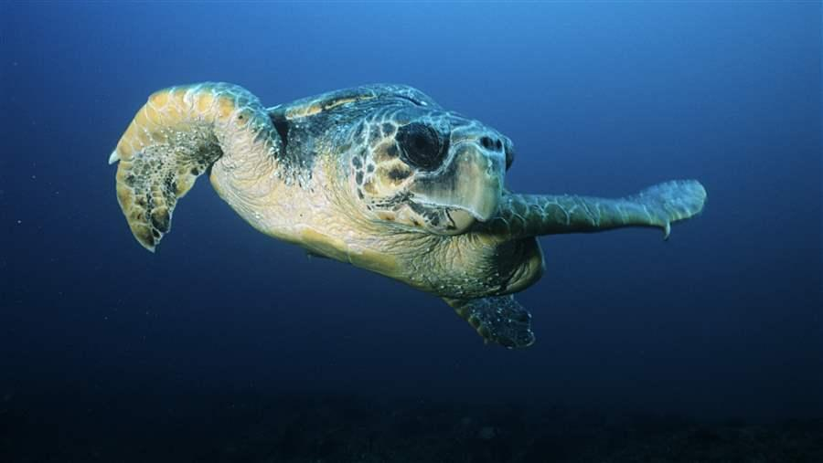 HIGH_Loggerhead_sea_turtle_2