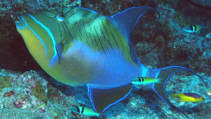 SE_QueenTriggerFish_raw_ds_HO