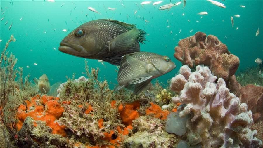 Black sea bass at Gray's Reef National Marine Sanctuary, Georgia.