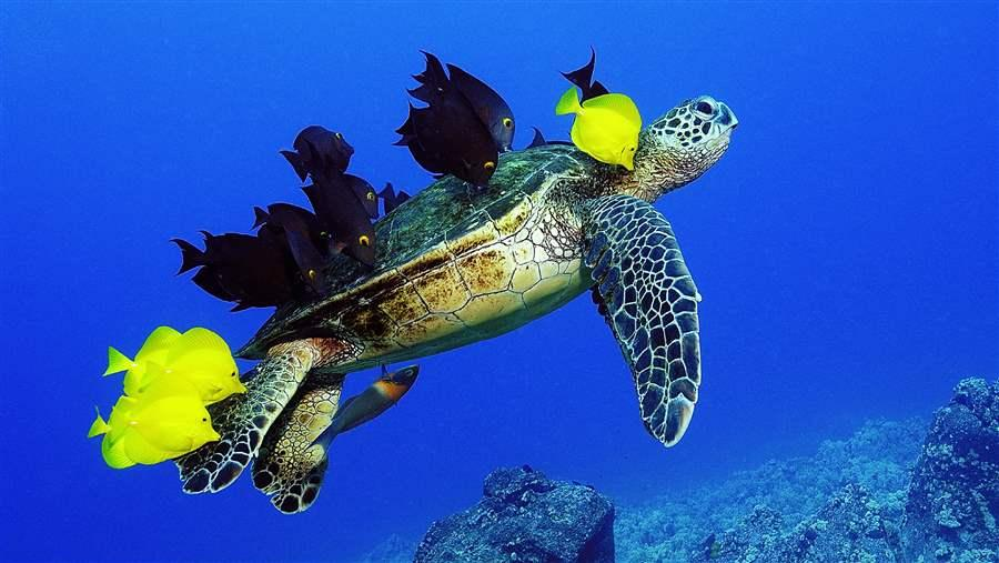 Green turtles and surgeonfish have a mutualist relationship.
