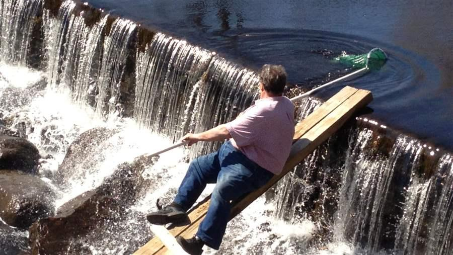 Bill McWha tosses river herring over a dam on the Saugatucket River