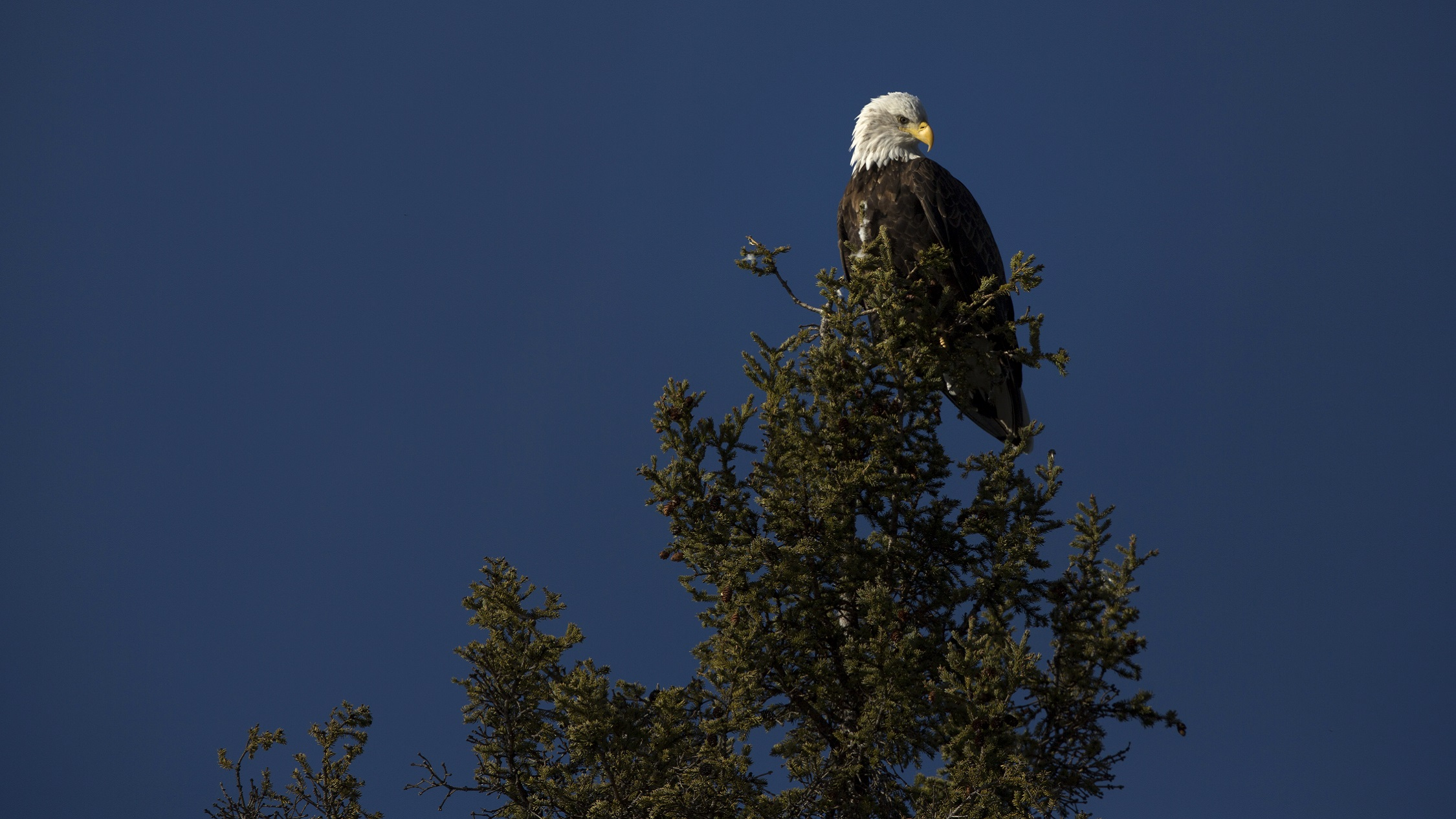 A bald eagle near Fort Simpson, Northwest Territories