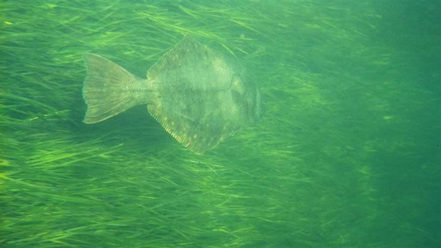 A flounder swims through a bed of seagrass in Narragansett Bay, Rhode Island