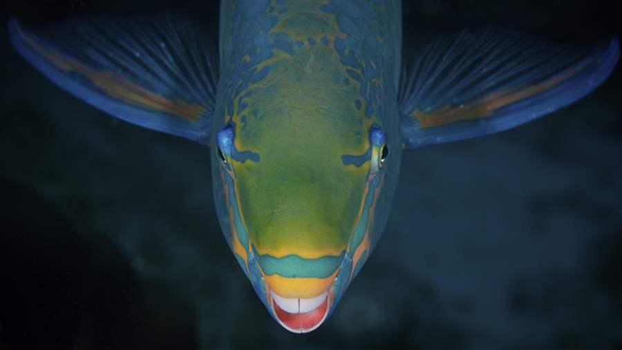 Parrotfish eat seaweed that would harm corals
