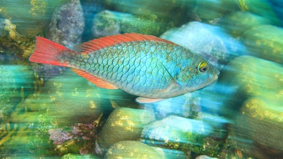 Parrotfish have few protections in the Caribbean Sea