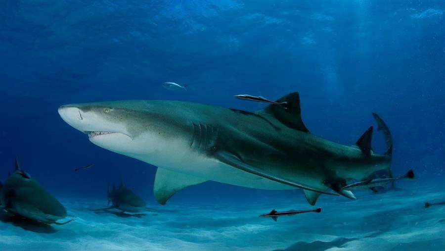 Lemon shark