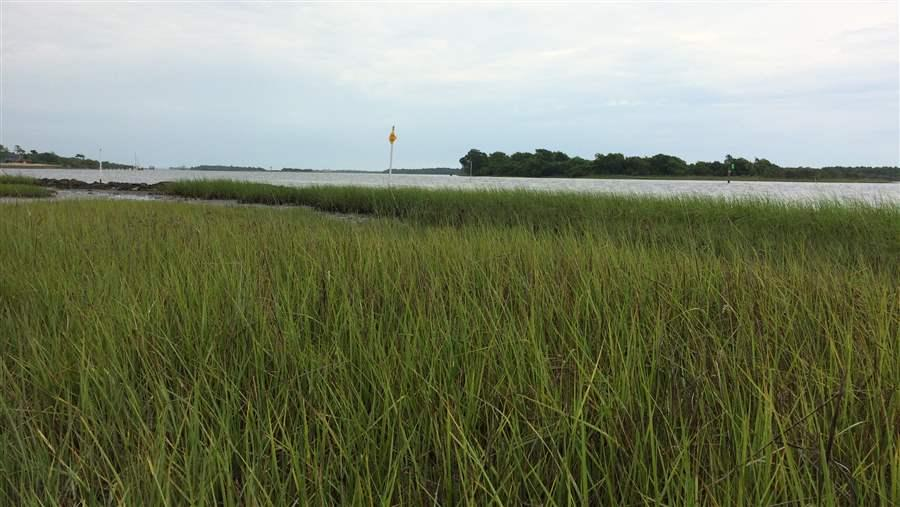 Healthy marsh grasses contribute to living shorelines