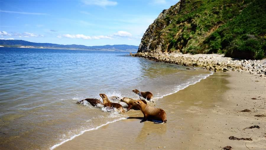 Sea Lions being released