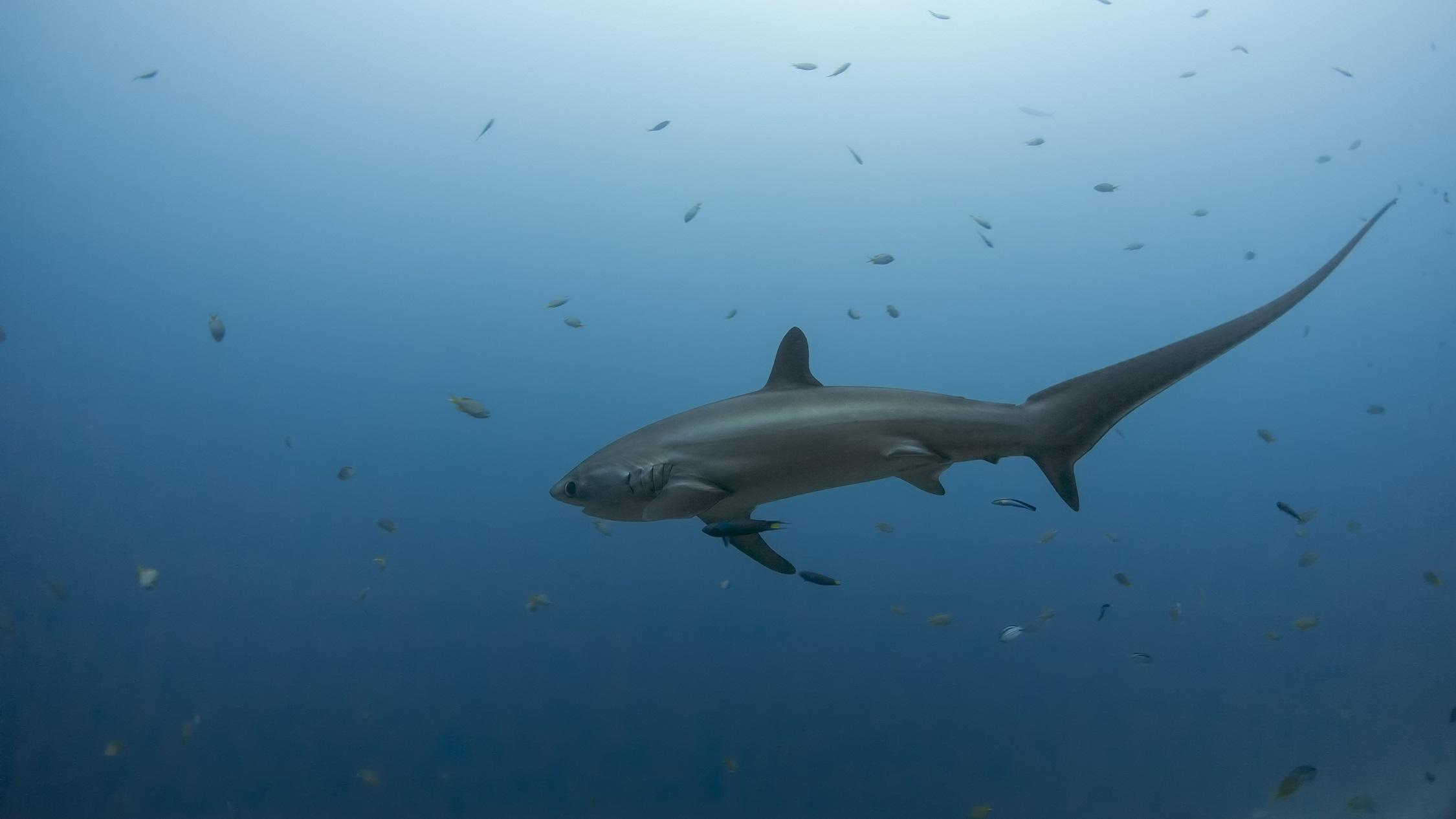 Kiribati Announces World's Second Largest Shark Sanctuary