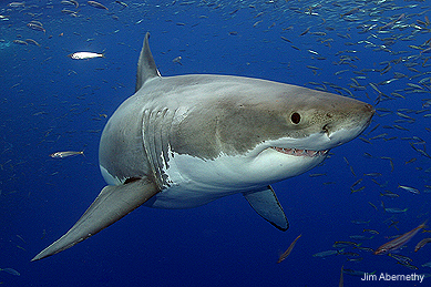 Great White Abernathy Shark