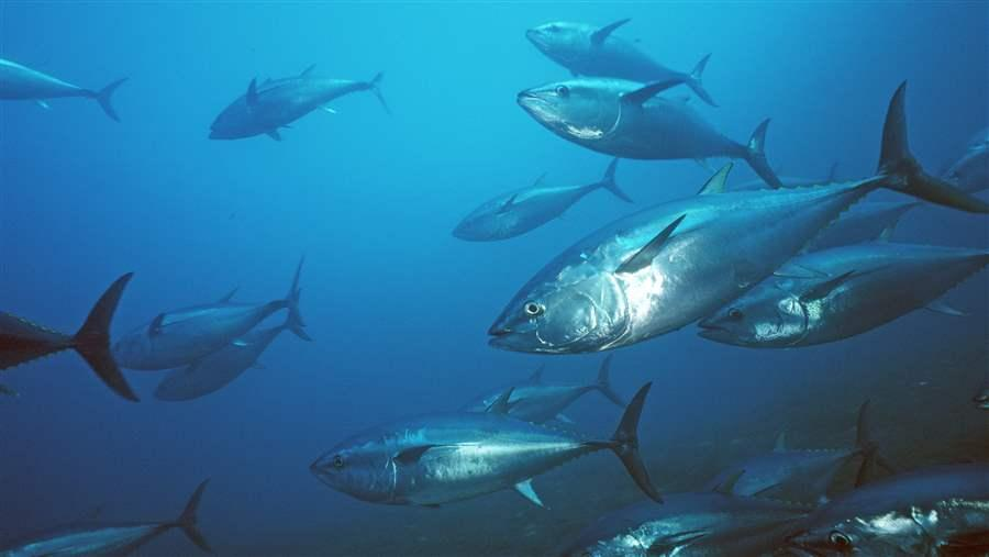 Pacific bluefin tuna swim in the ocean.