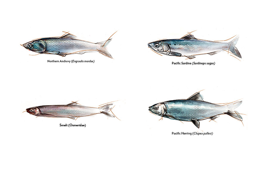 The State Of The Science Forage Fish In The California