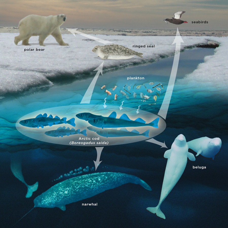 polar mammals research thesis ecosystem For studying arctic ecosystems of the arctic at the abisko scientific research scandinavian alpine ecosystems from a species.