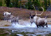 Caribou in the Boreal Forest, credit: Valerie Courtois