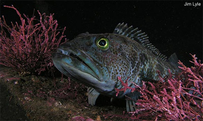 Pacific Lingcod