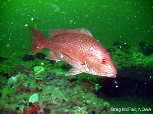 Red Snapper Photo: Greg McFall, NOAA