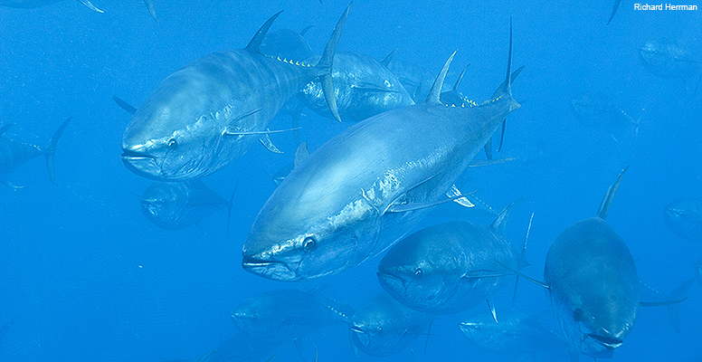 Western Atlantic bluefin tuna