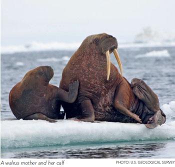 addressing major gaps in arctic science pew environment group. Black Bedroom Furniture Sets. Home Design Ideas