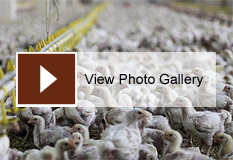 Photo Gallery: Polluting Poultry in the Chesapeake