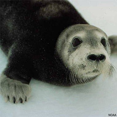 Bearded Seal Pup