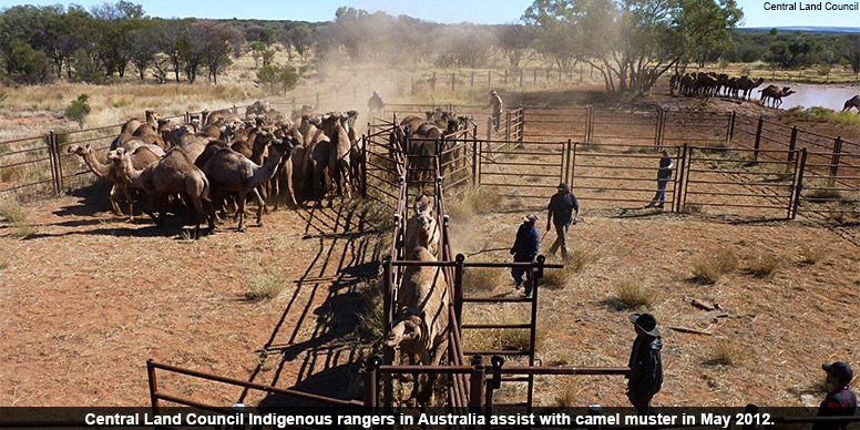 Central Land Council Indigenous rangers in Australia assist with camel muster in May 2012.