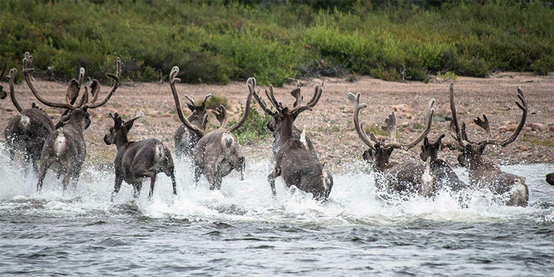 Caribou crossing a river.