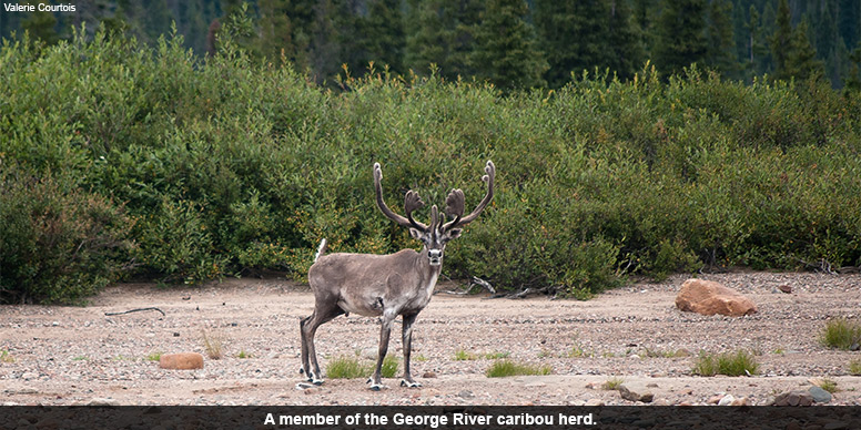 Part of the George's River Caribou Herd.