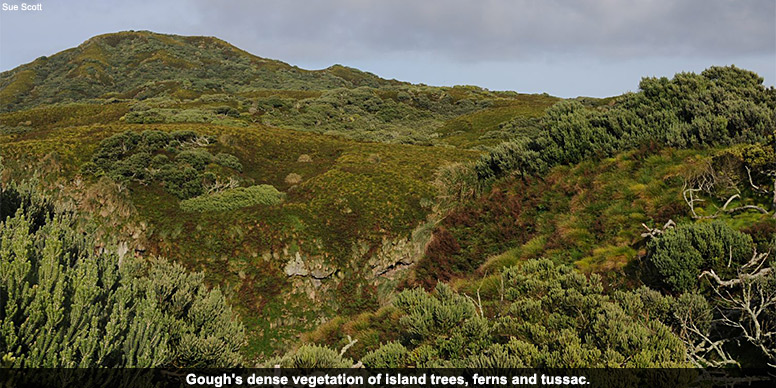 Gough's dense vegetation of island trees, ferns and tussac.