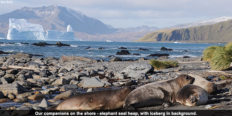 Our companions on the shore - elephant seal heap, with iceberg in background.