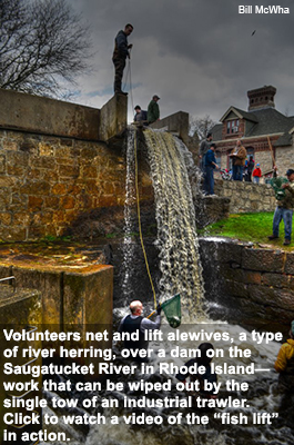 Volunteers net and lift alewives, a type of river herring, over a dam on the Saugatucket River in Rhode Island.